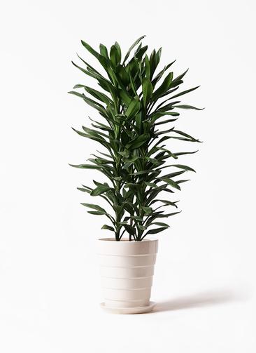 観葉植物 ドラセナ グローカル 10号 サバトリア 白 付き