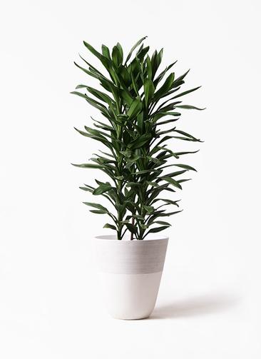 観葉植物 ドラセナ グローカル 10号 ジュピター 白 付き