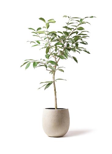 観葉植物 アマゾンオリーブ (ムラサキフトモモ) 8号 テラニアス バルーン アンティークホワイト 付き