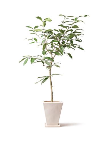 観葉植物 アマゾンオリーブ (ムラサキフトモモ) 8号 スクエアハット 白 付き