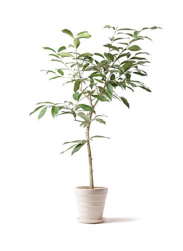 観葉植物 アマゾンオリーブ (ムラサキフトモモ) 8号 サバトリア 白 付き