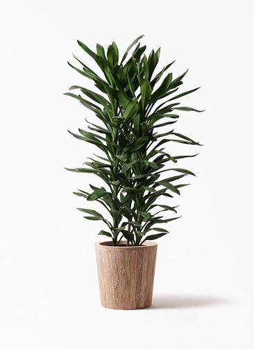 観葉植物 ドラセナ グローカル 10号 ウッドプランター 付き