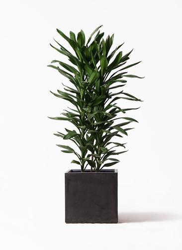 観葉植物 ドラセナ グローカル 10号 ファイバークレイ キューブ 付き