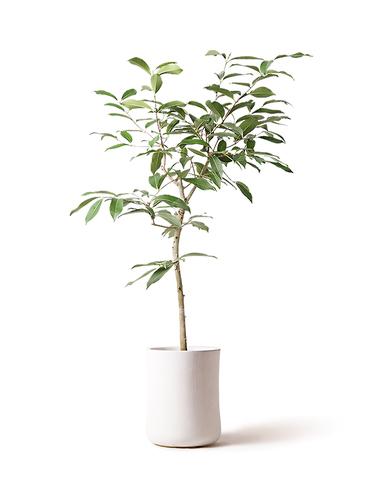 観葉植物 アマゾンオリーブ (ムラサキフトモモ) 8号 バスク ミドル ホワイト 付き