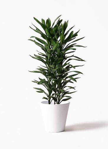 観葉植物 ドラセナ グローカル 10号 フォリオソリッド 白 付き