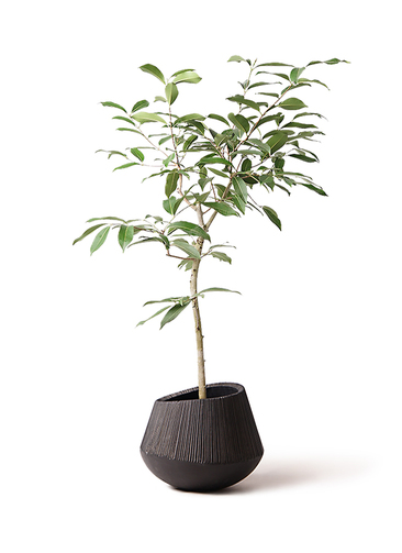 観葉植物 アマゾンオリーブ (ムラサキフトモモ) 8号 エディラウンド 黒 付き