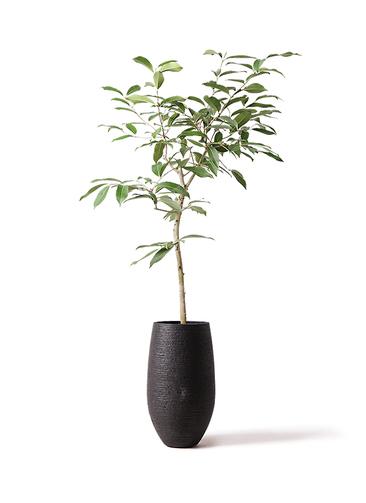 観葉植物 アマゾンオリーブ (ムラサキフトモモ) 8号 フォンティーヌトール 黒 付き