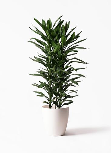 観葉植物 ドラセナ グローカル 10号 ラスターポット 付き