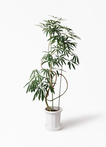 観葉植物 シェフレラ アンガスティフォリア 10号 曲り プラスチック鉢