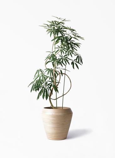 観葉植物 シェフレラ アンガスティフォリア 10号 曲り アルマ ミドル 付き
