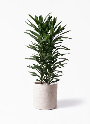 観葉植物 ドラセナ グローカル 10号 サンディ シリンダー 白 付き