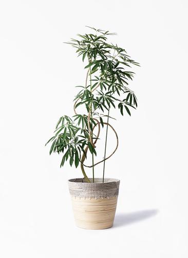 観葉植物 シェフレラ アンガスティフォリア 10号 曲り アルマ コニック 白 付き