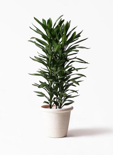観葉植物 ドラセナ グローカル 10号 ビアスリムス 白 付き