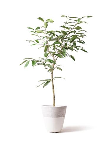 観葉植物 アマゾンオリーブ (ムラサキフトモモ) 8号 ジュピター 白 付き