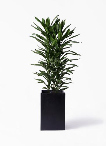 観葉植物 ドラセナ グローカル 10号 セドナロング 墨 付き