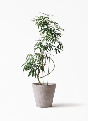 観葉植物 シェフレラ アンガスティフォリア 10号 曲り アートストーン ラウンド グレー
