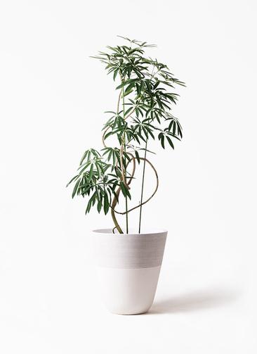 観葉植物 シェフレラ アンガスティフォリア 10号 曲り ジュピター 白