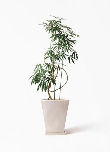 観葉植物 シェフレラ アンガスティフォリア 10号 曲り スクエアハット 白