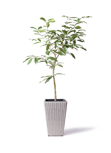 観葉植物 アマゾンオリーブ (ムラサキフトモモ) 8号 ウィッカーポット スクエアロング OT 白 付き