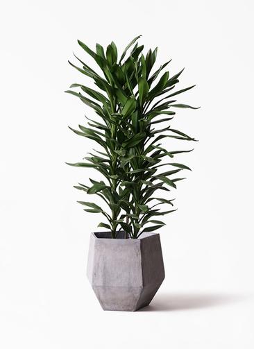 観葉植物 ドラセナ グローカル 10号 ファイバークレイGray 付き