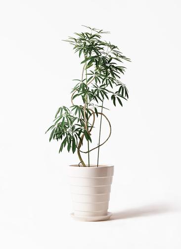 観葉植物 シェフレラ アンガスティフォリア 10号 曲り サバトリア 白