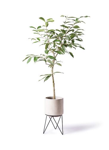 観葉植物 アマゾンオリーブ (ムラサキフトモモ) 8号 ビトロ エンデカ 鉢カバースタンド付 クリーム 付き