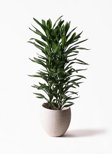 観葉植物 ドラセナ グローカル 10号 エコストーンLight Gray 付き