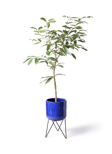 観葉植物 アマゾンオリーブ (ムラサキフトモモ) 8号 ビトロ エンデカ 鉢カバースタンド付 ブルー 付き