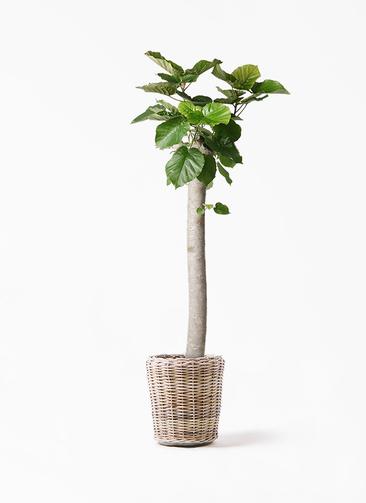 観葉植物 フィカス ウンベラータ 10号 朴 モンデリック ラタン 付き