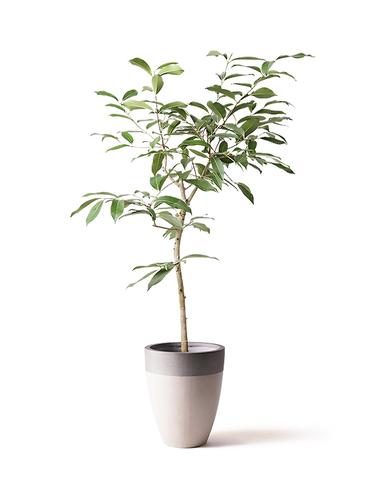 観葉植物 アマゾンオリーブ (ムラサキフトモモ) 8号 ファイバーストーンカプリ サンディホワイト 付き