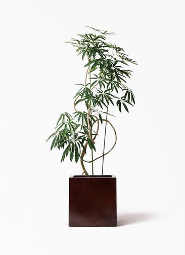観葉植物 シェフレラ アンガスティフォリア 10号 曲り MOKU キューブ