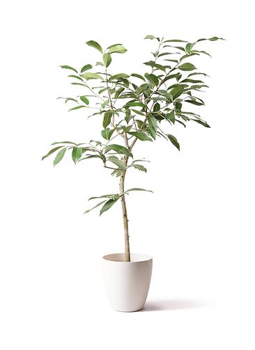 観葉植物 アマゾンオリーブ (ムラサキフトモモ) 8号 ラスターポット 付き