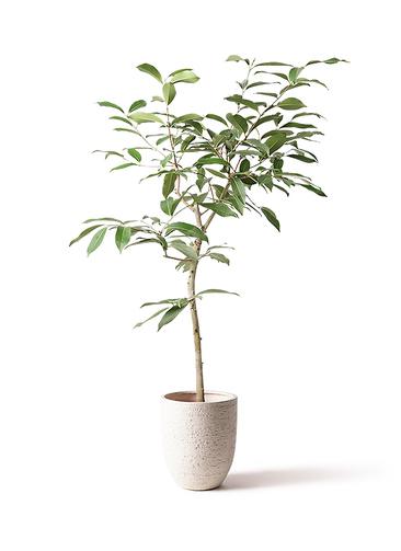 観葉植物 アマゾンオリーブ (ムラサキフトモモ) 8号 ビアスアルトエッグ 白 付き