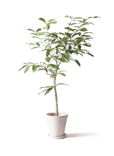 観葉植物 アマゾンオリーブ (ムラサキフトモモ) 8号 サブリナ 白 付き
