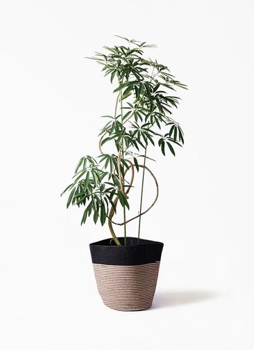 観葉植物 シェフレラ アンガスティフォリア 10号 曲り リブバスケットNatural and Black 付き