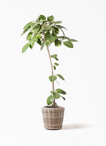 観葉植物 フィカス アルテシーマ 8号 ストレート モンデリック ラタン 付き
