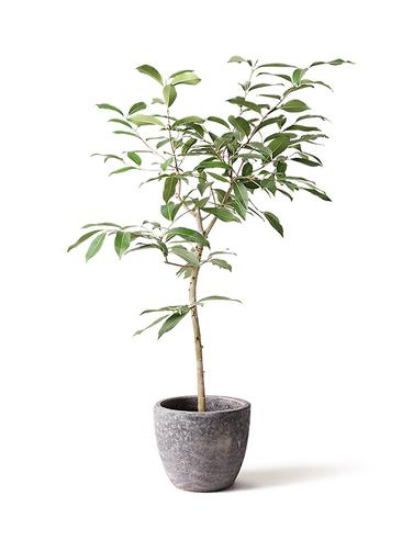 観葉植物 アマゾンオリーブ (ムラサキフトモモ) 8号 アビスソニアミドル 灰 付き