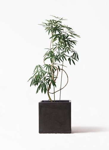 観葉植物 シェフレラ アンガスティフォリア 10号 曲り ファイバークレイ キューブ 付き