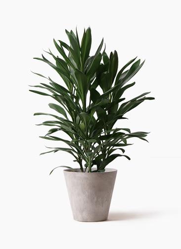 観葉植物 ドラセナ グローカル 8号 アートストーン ラウンド グレー 付き