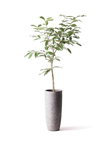 観葉植物 アマゾンオリーブ (ムラサキフトモモ) 8号 エコストーントールタイプ Gray 付き