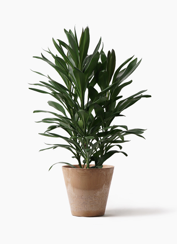 観葉植物 ドラセナ グローカル 8号 アートストーン ラウンド ベージュ 付き