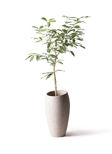 観葉植物 アマゾンオリーブ (ムラサキフトモモ) 8号 エコストーントールタイプ Light Gray 付き