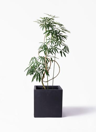 観葉植物 シェフレラ アンガスティフォリア 10号 曲り ベータ キューブプランター 黒 付き