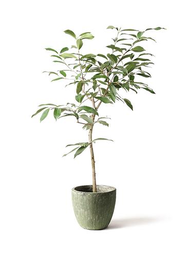 観葉植物 アマゾンオリーブ (ムラサキフトモモ) 8号 アビスソニアミドル 緑 付き