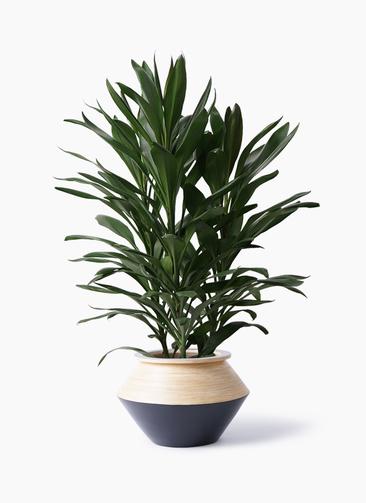 観葉植物 ドラセナ グローカル 8号 アルマジャー 黒 付き