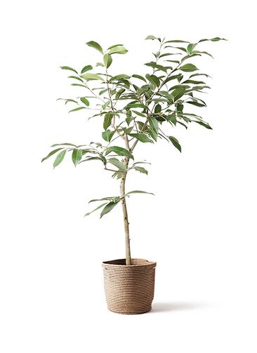 観葉植物 アマゾンオリーブ (ムラサキフトモモ) 8号 リブバスケットNatural 付き