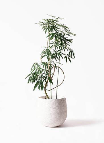 観葉植物 シェフレラ アンガスティフォリア 10号 曲り エコストーンwhite 付き