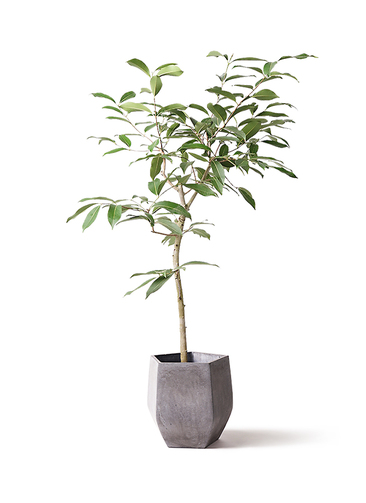 観葉植物 アマゾンオリーブ (ムラサキフトモモ) 8号 ファイバークレイ Gray 付き