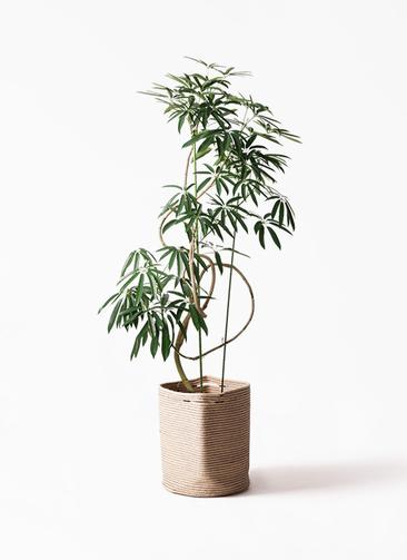 観葉植物 シェフレラ アンガスティフォリア 10号 曲り リブバスケットNatural 付き