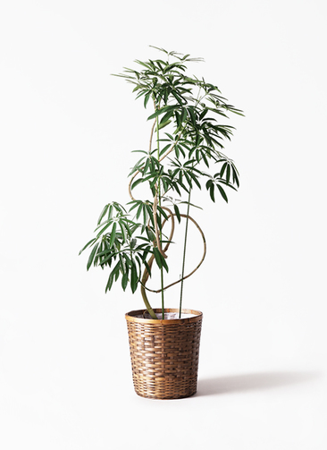 観葉植物 シェフレラ アンガスティフォリア 10号 曲り 竹バスケット 付き